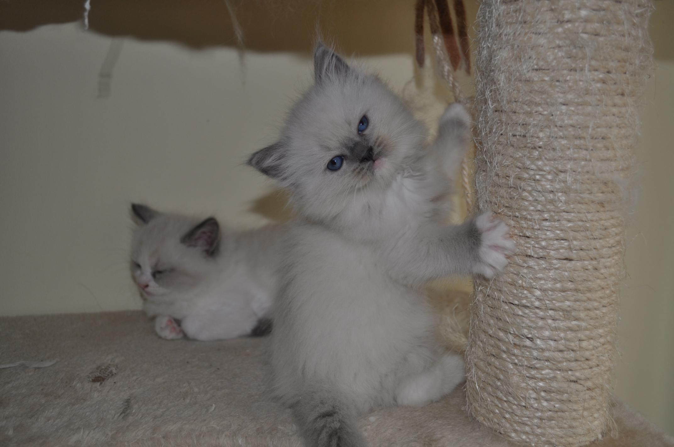 Kittens Rosa Cattery La Siesta